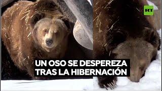 Un oso dormido sale de la hibernación