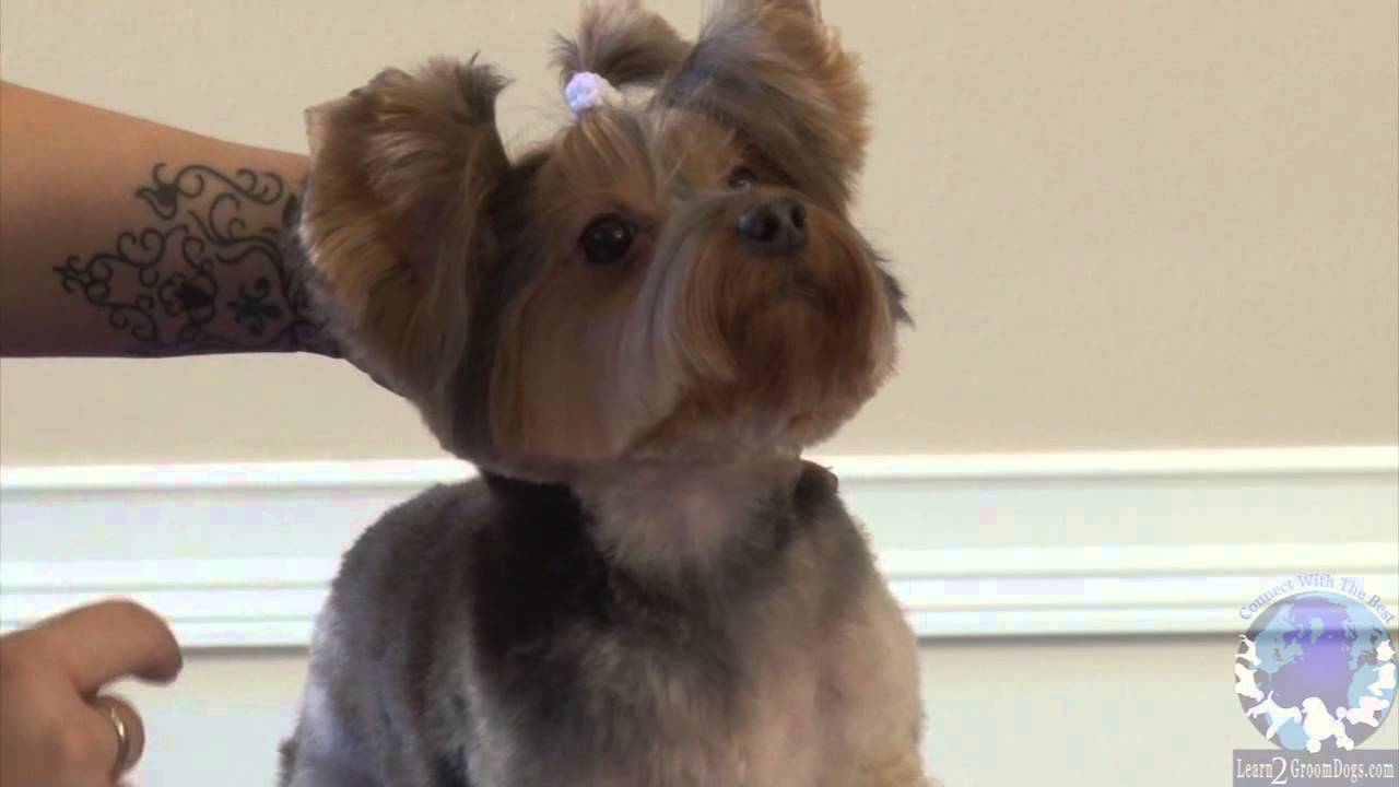 Grooming A Pet Yorkie In The Bella Bottom Trim Part 2 Youtube