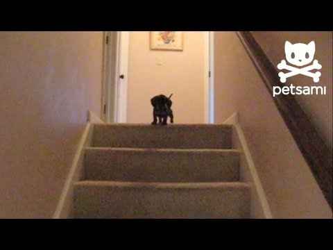 Dachshund Puppy Makes It Down Stairs With Help From Older Dog