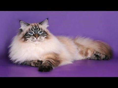 Невская маскарадная кошка (всё о породе)