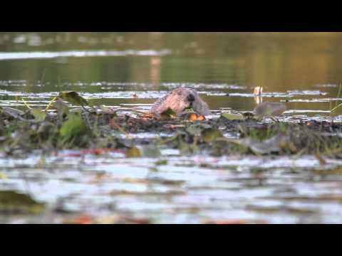 Scottish Beaver Trial: Lochan Beag beaver pair