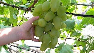 Виноград,прищипка,чеканка,зелёные операции.
