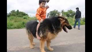 CADABOMS BHIRA (worlds NO.1 biggest german shepherd dog)...!!!!