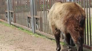 Сычуаньский такин в Гродненском зоопарке.