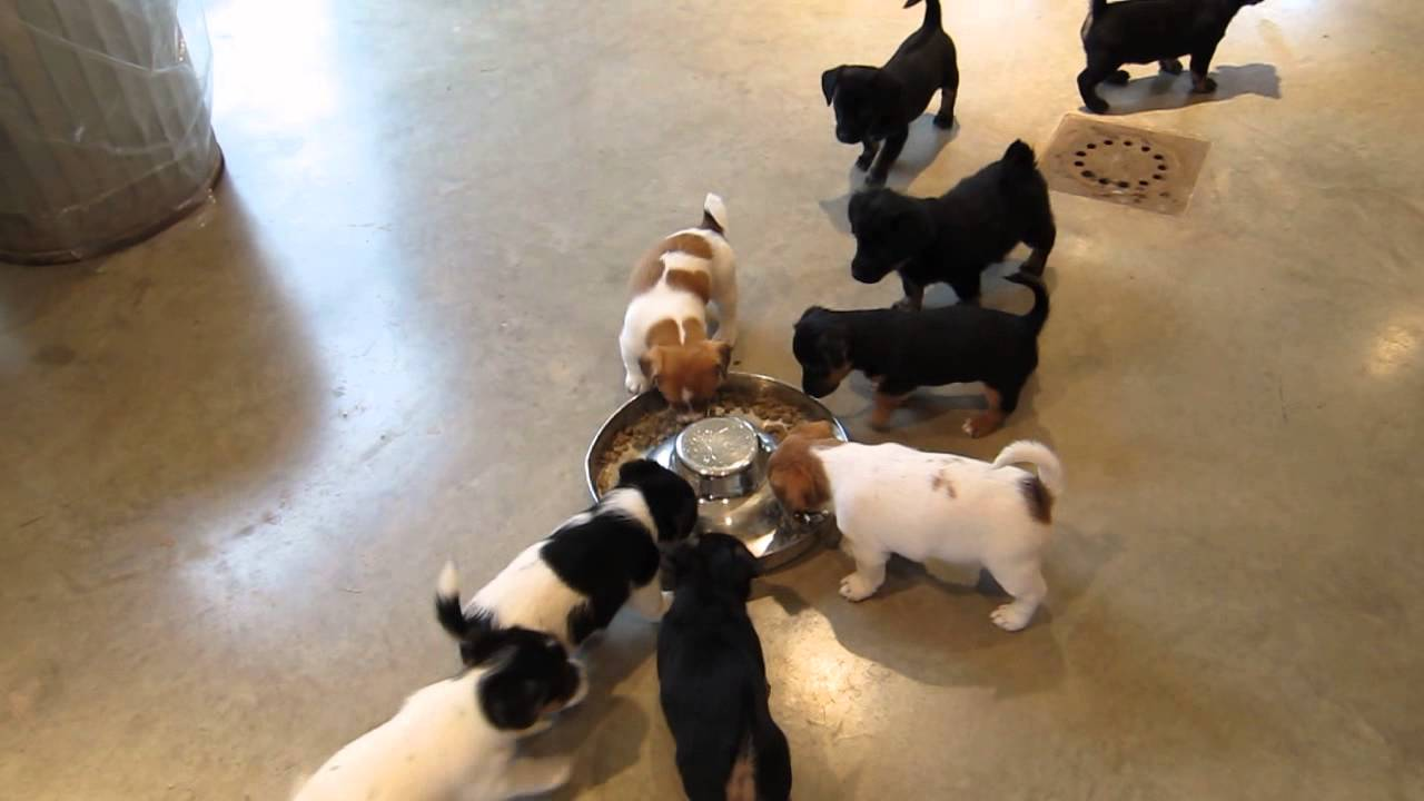 Irish Black And Tan Jack Russell Puppies YouTube