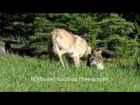 Gray Wolf Encounter in Montana