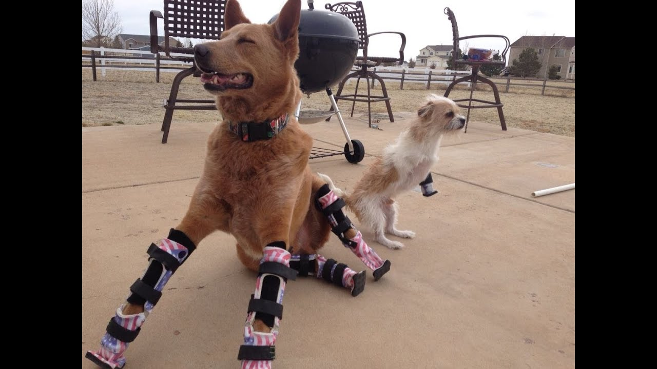 Roller skates for dogs - Disabled Dogs Because They Re Happy