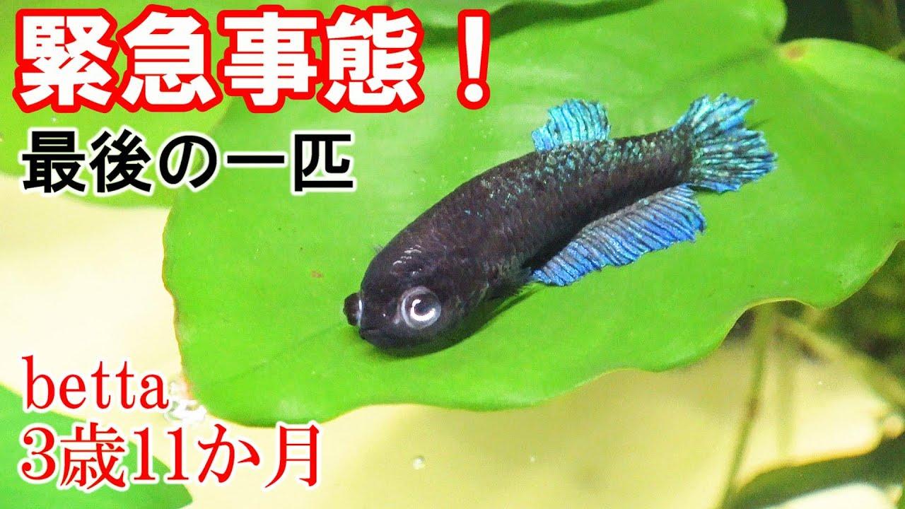 【水上で暮らす魚】このままじゃ無理!ベタ、4歳目前・・・ 生きていけるのか!?