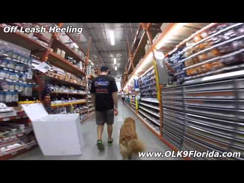 """4yr old Golden Retriever """"Marcie"""" 2 Week Board and Train video! Florida Dog Trainers."""