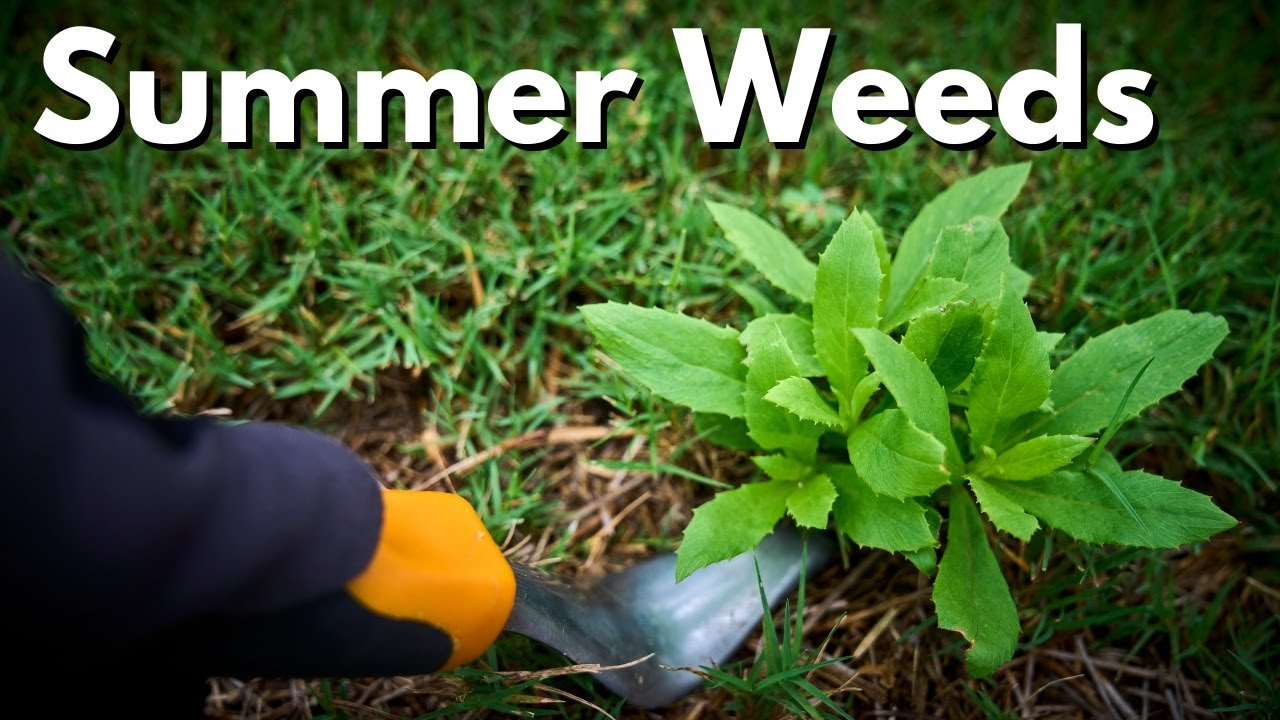 Summer Lawn Weeds Q&A - [Ron Henry LIVE]