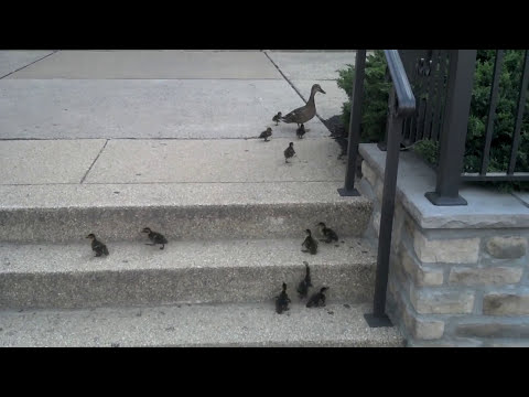 Ducklings vs. Stairs