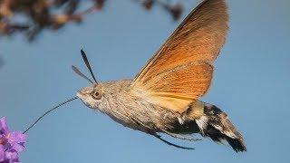 hummingbird-hawk-moth-animal-of-the-week