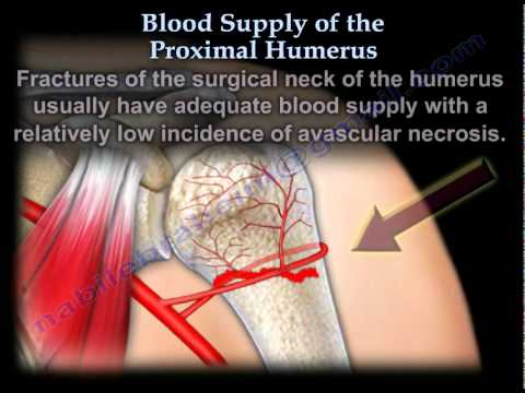 Blood Supply Of The Proximal Humerus Everything You Need To Know