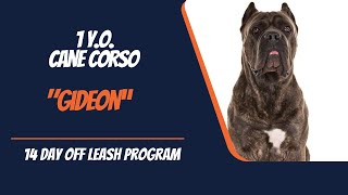 1 YEAR OLD CANE CORSO 'GIDEON' 2 WEEK BOARD & TRAIN