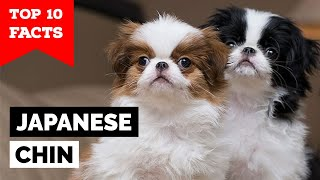 Japanese Chin  Top 10 Facts