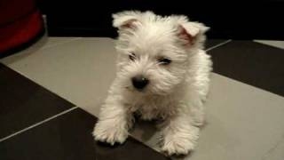 Cute West Highland White Terrier