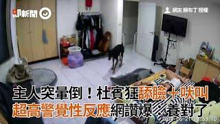 杜賓犬發現主人突然暈倒!狂舔臉+吠叫|寵物|狗