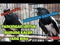 Luar Biasa Suara Burung Kacer Untuk Pancingan Kacer Bisu Jadi Bunyi  Mp3 - Mp4 Download