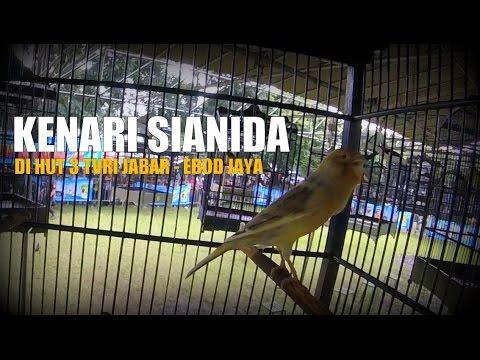 Download Lagu SUARA BURUNG : Kenari Sianida Ngedur Panjang Di Tengah Teriakan Penonton HUT TVRI JABAR