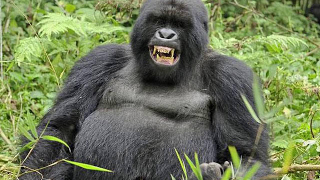 Goril Sesi / Goril Ses Efekti