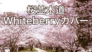 Whiteberry - 桜並木道