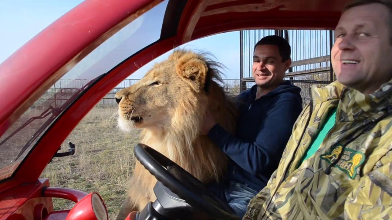 лев ласкается