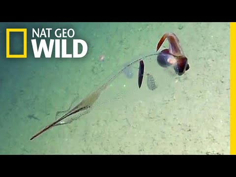 Strange Transparent Squid Filmed in Ocean Deep | Nat Geo Wild