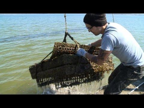 Chesapeake Bay oysters make a comeback