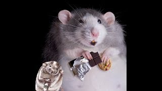 Чем кормить крыс (декоративные крысы)