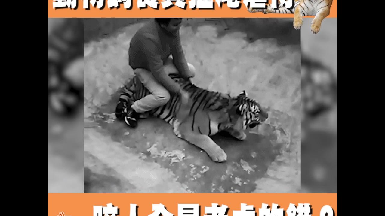 動物飼養員扯尾虐待 咬人全是老虎的錯? - YouTube