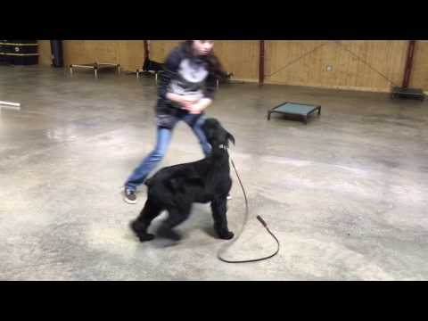 Yeager Playing Ball Giant Schnauzer 11 Months Dog For Sale