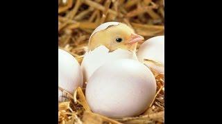 Вывод цыплят в инкубаторе ТГБ&Плюсы и Минусы(Вывод цыплят в инкубаторе ТГБ&Плюсы и Минусы. Представитель магазина предупреждал, что ему уже говорили..., 2015-03-17T07:59:42.000Z)