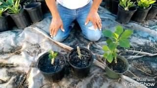 Planta de la vida O lechero africano La planta que cura el sida