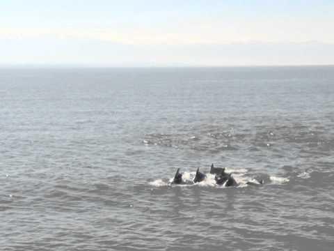 დელფინები ფოთთან