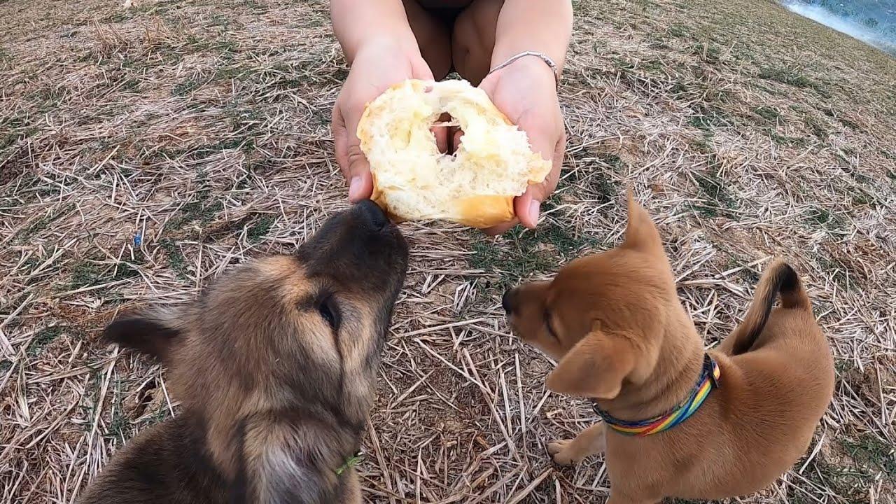 Soytiet Và Hai Con Chó Đi Dạo - Soytiet With Dogs For Go Out