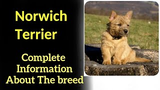 Norwich Terrier. Pros and Cons, Price, How to choose, Facts, Care, History