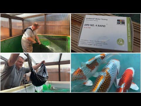 My Koi Breeding Project - Part 28 - Start of 2020 Spawning Season
