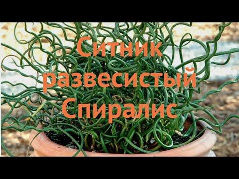 Ситник обыкновенный (sitnik-razvesistyy-spiralis) 🌿 ситник обзор: как сажать саженцы ситника