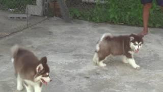 babydogs chiangmai แก๊งค์ไซฮัส คอกใหม่พร้อมย้ายบ้าน(1)