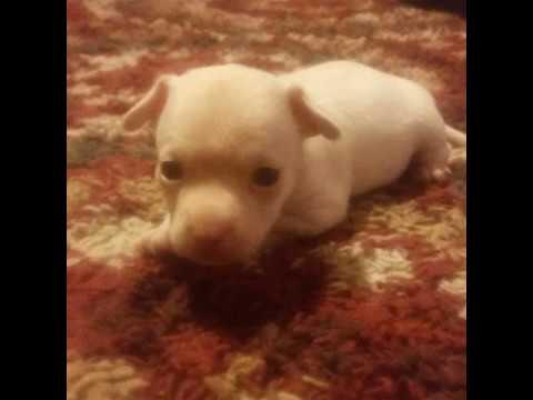 In memory of Scruffy /Gooey The Albino Chihuahua For Tristen