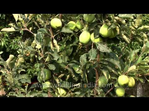 Green apple with a bit of a blush, Uttarakhand