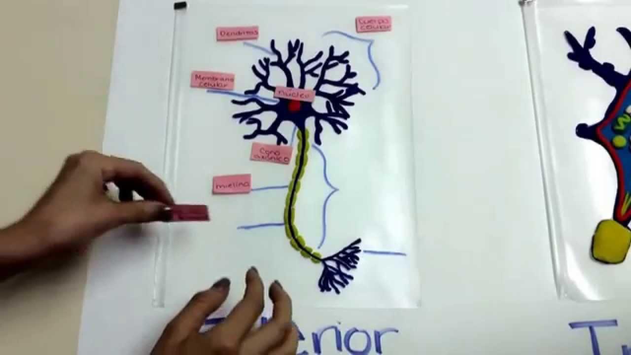 La Neurona y sus partes  YouTube