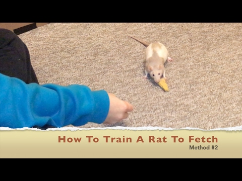 How To Train A Rat To Fetch (Method #2)