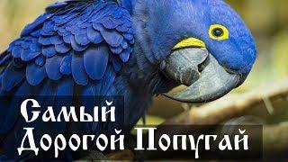 Самый дорогой попугай в мире