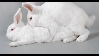 Случка кроликов 100% результат!!! Определение охоты крольчихи!! Определение что крольчиха покрылась!