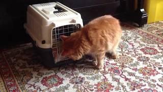 Кот трётся об переноску с другим котом👌