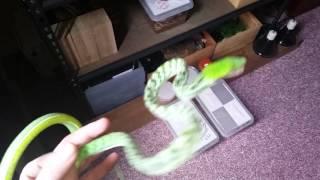 asian vine snake ahaetulla handling