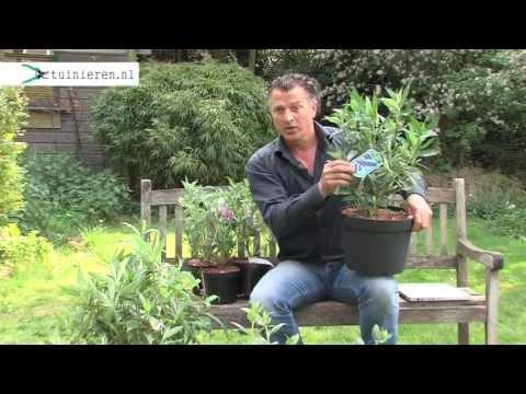 Vlinderstruik planten in de tuin - Tuinieren.nl