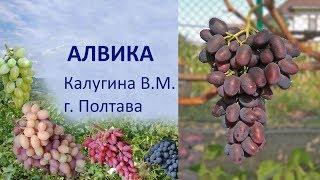 Виноград 2019 Виноград Алвика Відгук про виноград