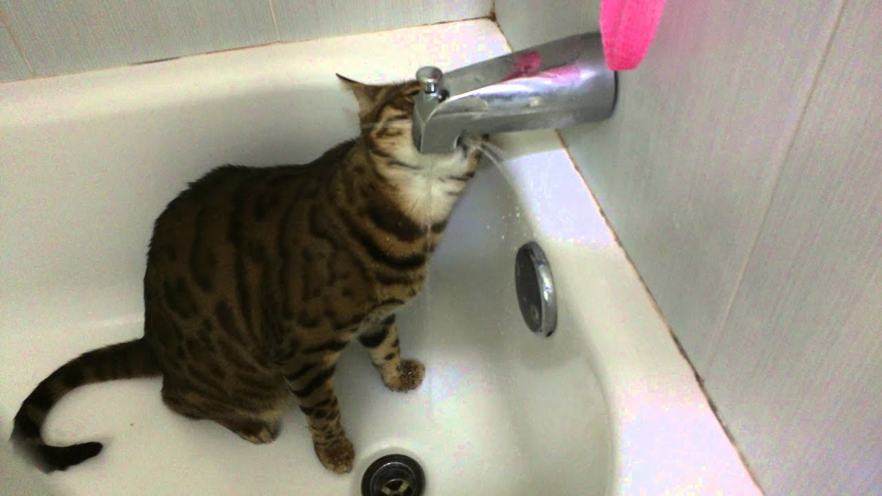 Cat drinking from bathtub faucet - YouTube